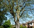 Pollarding of Conker Tree