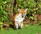 Moor Lane Foxes, Jan 2014